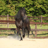 Gorgeous Brown Welsh Cob Running Royalty Free Stock Photography