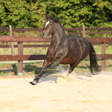 Gorgeous brown welsh cob running Stock Photos
