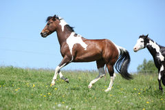 Gorgeous brown and white stallion of paint horse running. On spring pasturage royalty free stock photography