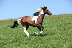 Gorgeous brown and white stallion of paint horse running Royalty Free Stock Photos