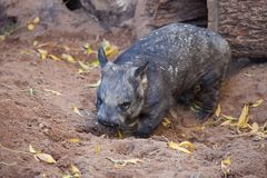 Gorgeous Burly Southern Hairy-Nosed Wombat burrows the sand in surrounded of yellow leaves. stock image