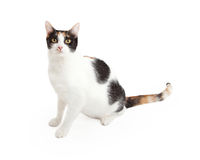 Gorgeous Calico Cat Sitting Stock Images