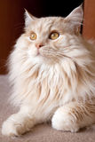 Gorgeous Cat Stock Images