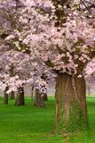 Gorgeous cherry trees blossoming royalty free stock photos