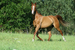 Gorgeous chestnut arabian horse in freedom Stock Photography