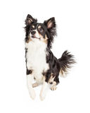 Gorgeous Chihuahua Mixed Breed Dog Royalty Free Stock Image