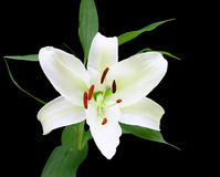 A Gorgeous Christmas Lily Royalty Free Stock Photos