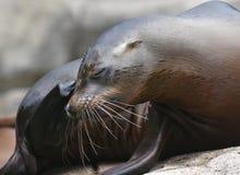 Gorgeous Shot of a Shiny Sea Lion. Gorgeous Close U of a Shiny Sea Lion Royalty Free Stock Photos