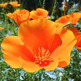 Gorgeous close-up of California golden poppies with golden poppies in background. royalty free stock photo