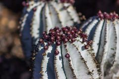 """Gorgeous close-up of the purple blossoms of a Euphorbia Horrida """"Snowflake"""" cactus stock photos"""