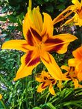 Gorgeous closeup of brightly colored red and yellow lily Stock Photo