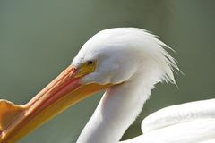 The White Pelican Stare Stock Photography