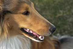 Gorgeous Collie at the Park! Stock Photography
