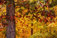 Gorgeous Colored Leaves of the Oak Tree in the Fall Stock Photography