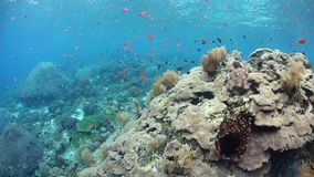 Gorgeous Coral Reef in Alor, Indonesia. A beautiful and healthy coral reef thrives near the island of Alor, Indonesia. This remote region, within the Coral stock footage
