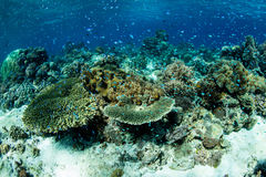 Gorgeous Coral Reef. A healthy coral reef thrives in the Lesser Sunda Islands of Indonesia Stock Photo