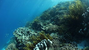 Gorgeous Coral Reef in Raja Ampat. A variety of colorful corals grow on a healthy reef in Raja Ampat, Indonesia. This tropical region is known for its stock video footage