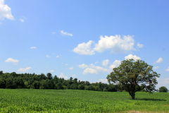 Gorgeous cornfield with skies and trees Stock Image