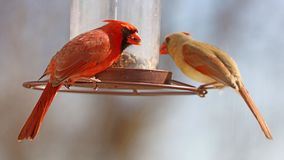 Gorgeous Couple of Red northern cardinal colorful bird eating seeds from a bird seed feeder during summer in Michigan. Gorgeous Red northern cardinal colorful royalty free stock images