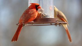Gorgeous Couple of Red northern cardinal colorful bird eating seeds from a bird seed feeder during summer in Michigan. Gorgeous Red northern cardinal colorful royalty free stock image
