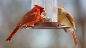 Gorgeous Couple of Red northern cardinal colorful bird eating seeds from a bird seed feeder during summer in Michigan stock images