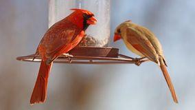 Gorgeous Couple of Red northern cardinal colorful bird eating seeds from a bird seed feeder during summer in Michigan. Gorgeous Red northern cardinal colorful royalty free stock photos