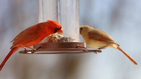 Gorgeous Couple of Red northern cardinal colorful bird eating seeds from a bird seed feeder during summer in Michigan. Gorgeous Red northern cardinal colorful royalty free stock photography