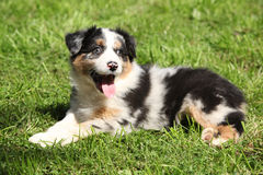 Gorgeous and crazy australian shepherd puppy Royalty Free Stock Photography