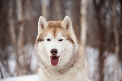 Gorgeous, cute and free Siberian Husky dog sitting on the snow path in the winter forest. Close-up Portrait of gorgeous, cute and free Siberian Husky dog sitting royalty free stock photography