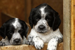 Gorgeous Cute Puppies Royalty Free Stock Photo