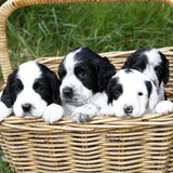 Gorgeous Cute Puppies Royalty Free Stock Images