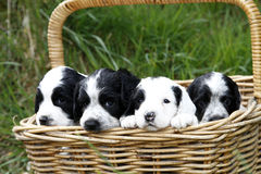 Gorgeous Cute Puppies. Basket full of fun puppies Royalty Free Stock Image