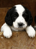 Gorgeous Cute Puppy Stock Photo