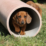 Gorgeous Dachshund puppy in the garden Stock Photography