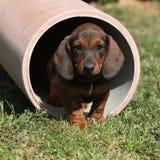 Gorgeous Dachshund puppy in the garden Stock Photo
