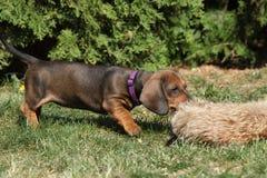 Gorgeous Dachshund puppy in the garden Stock Photos