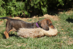 Gorgeous Dachshund puppy in the garden Stock Image