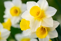 Gorgeous daffodils. Beautiful daffodils in white and yellow, shallow focus royalty free stock photos
