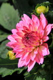 Gorgeous Dahlia, with fully bloomed flower and budding ones beside it Stock Images