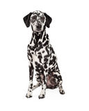 Gorgeous Dalmatian Dog Sitting Royalty Free Stock Photos