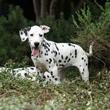 Gorgeous dalmatian puppy in the garden Stock Photo