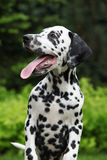 Gorgeous dalmatian puppy with long tongue Stock Image