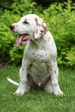 Gorgeous dalmatian puppy sitting in the garden Stock Photos