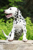 Gorgeous dalmatian puppy on some stock in the garden Royalty Free Stock Photos
