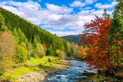 Gorgeous day near the forest river in mountains. Deciduous tree with vivid red foliage among spruce on the curve rocky shore. dreamy autumnal landscape Royalty Free Stock Images