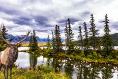 Gorgeous deer with big horns. Grazing on the lake. The valley along the Pocahontas road. Rocky Mountains of Canada. Concept of ecological, active and photo royalty free stock images