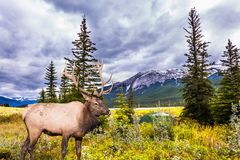 Gorgeous deer with big horns grazing. The valley along the Pocahontas road. Gorgeous deer with big horns grazing on the lake. Rocky Mountains of Canada. Concept stock image
