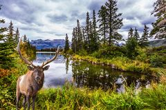 Gorgeous deer with big horns. The valley along the Pocahontas road. Gorgeous deer with horns grazing on the lake. Rocky Mountains of Canada. Concept of stock photos