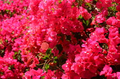 Gorgeous and delicate bougainvillea flowers on Tenerife Stock Photography