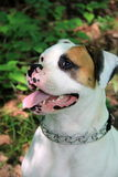 Gorgeous detail of American Bulldog with heavy chain collar Stock Photo